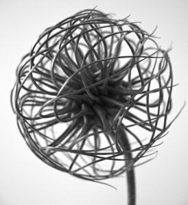 Clematis Centers BW (5)
