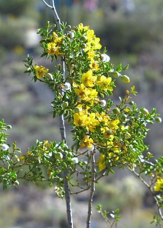 Desert Blooms (10)