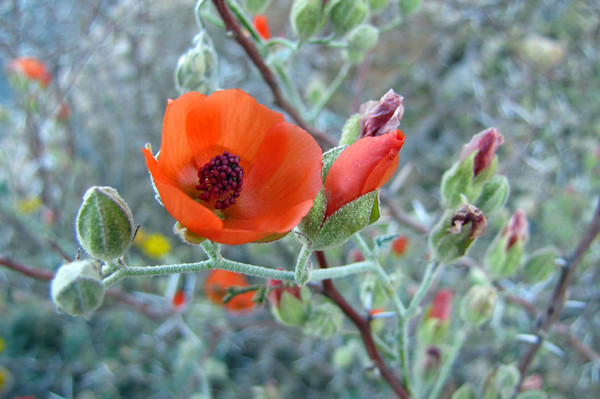 Desert Blooms (3)