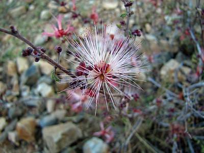 Desert Blooms (4)