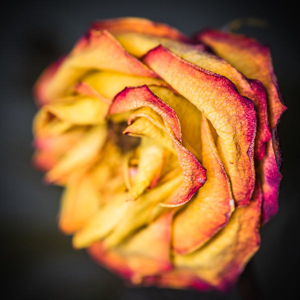Wilted Rose 2