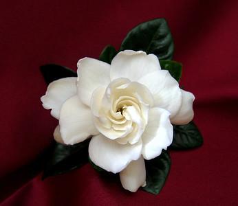 Gardenia (1)