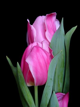 Tulips (14)