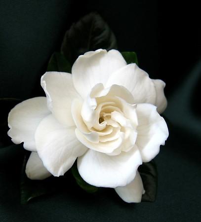 Gardenia (5)