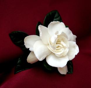Gardenia (2)