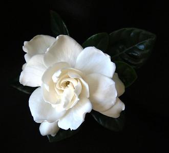Gardenia (3)