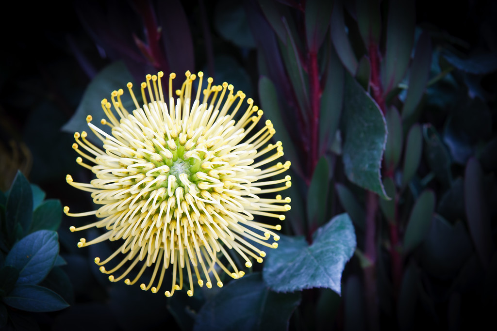 A golden pincushion protea from Ecuador, against a background of dark blue-green leaves with deep magenta stems.