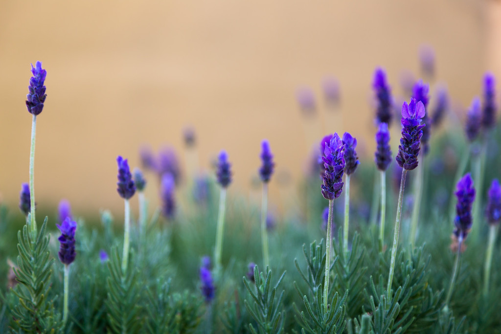 Lavendar Plants Against an Ocher Background