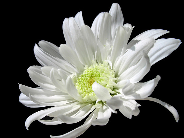 Chrysanthemum (1)