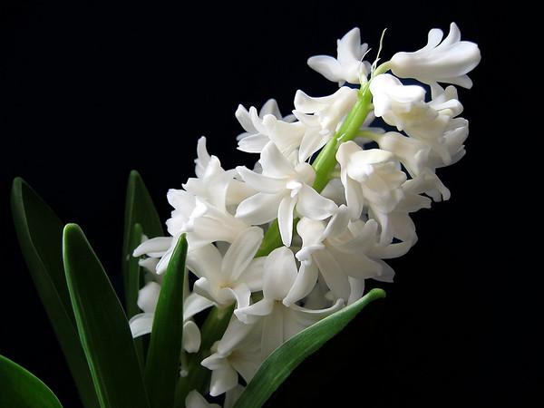 Hyacinth (1)