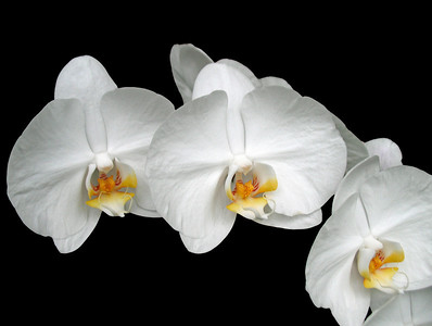 Orchid (3)