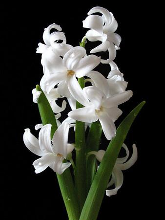 Hyacinth (2)