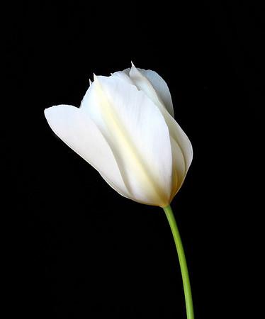 Tulip (1)