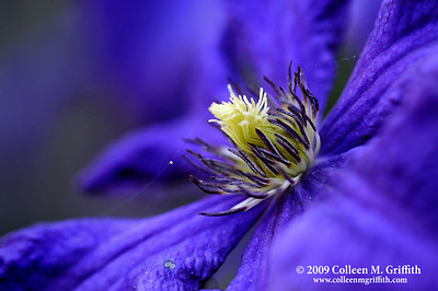Passionate About Purple © 2009 Colleen M. Griffith. All Rights Reserved.  This material may not be published, broadcast, modified, or redistributed in any way without written agreement with the creator.  This image is registered with the US Copyright Office. www.colleenmgriffith.com www.facebook.com/colleen.griffith
