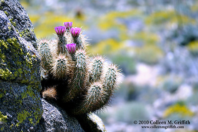 The Desert Awakens ©  2010 Colleen M. Griffith. All Rights Reserved.  This material may not be published, broadcast, modified, or redistributed in any way without written agreement with the creator.  This image is registered with the US Copyright Office. www.colleenmgriffith.com www.facebook.com/colleen.griffith  This photo was captured at the Anza Borrego State Park, CA.