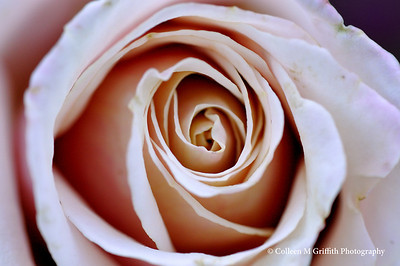 Pink Rose © 2009 Colleen M. Griffith. All Rights Reserved.  This material may not be published, broadcast, modified, or redistributed in any way without written agreement with the creator.  This image is registered with the US Copyright Office. www.colleenmgriffith.com www.facebook.com/colleen.griffith