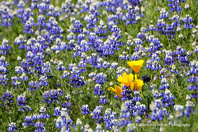 Orange and Purple Flowers © 2009 Colleen M. Griffith. All Rights Reserved.  This material may not be published, broadcast, modified, or redistributed in any way without written agreement with the creator.  This image is registered with the US Copyright Office. www.colleenmgriffith.com www.facebook.com/colleen.griffith