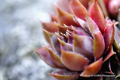 Orange Red Succulent © 2009 Colleen M. Griffith. All Rights Reserved.  This material may not be published, broadcast, modified, or redistributed in any way without written agreement with the creator.  This image is registered with the US Copyright Office. www.colleenmgriffith.com www.facebook.com/colleen.griffith