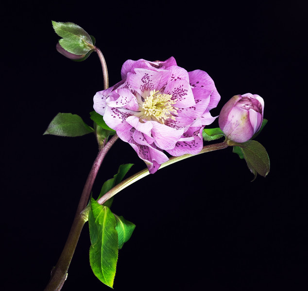 Hellebore Blooms