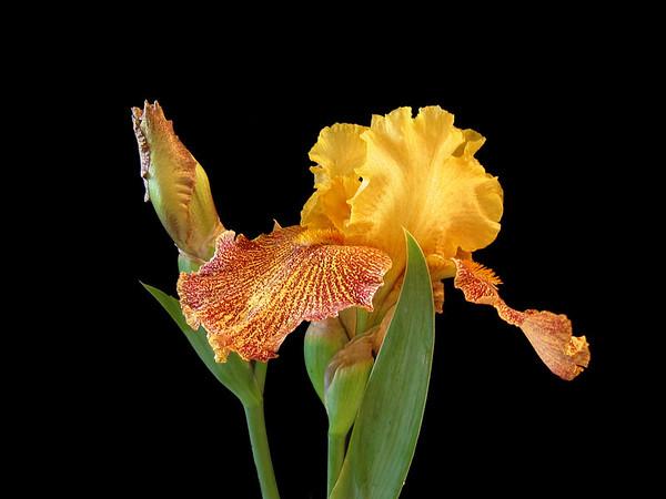 Iris-24