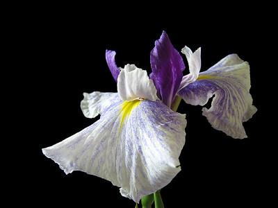 Iris-19