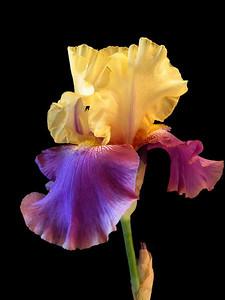 Iris-37