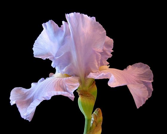 Iris-32