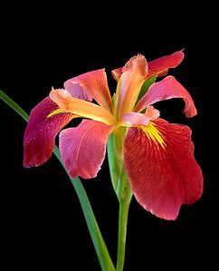 Iris-36