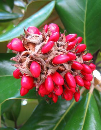 Magnolia Grandiflora Blossom Seeds (3)