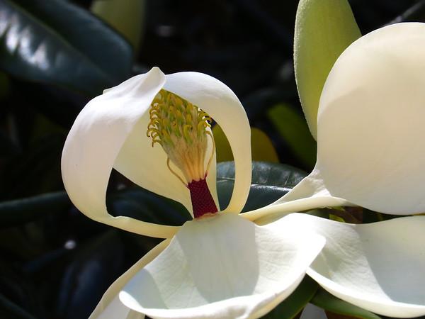 Magnolia Grandiflora Blossom (13)