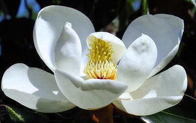 Magnolia Grandiflora Blossom (15)