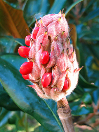 Magnolia Grandiflora Cone and Seeds (1)
