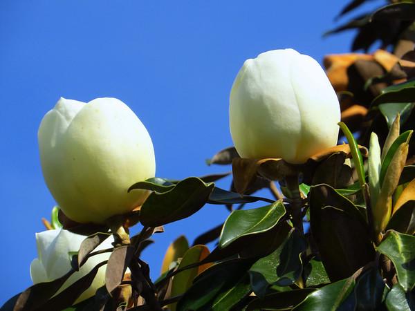 Magnolia Grandiflora Blossom (18)