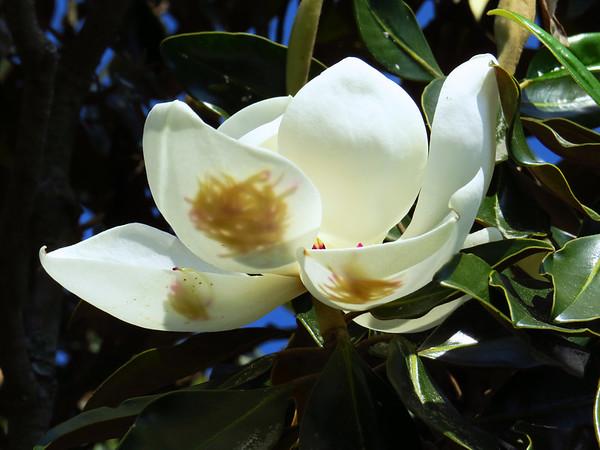 Magnolia Grandiflora Blossom (19)