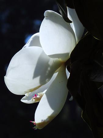 Magnolia Grandiflora Blossom (17)