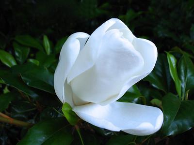 Magnolia Grandiflora Blossom (4)