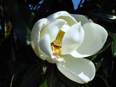 Magnolia Grandiflora Blossom (16)
