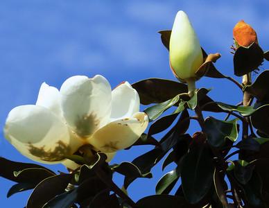 Magnolia Grandiflora Blossom (10)