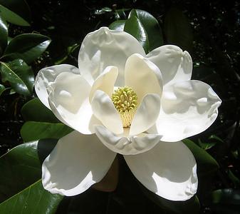 Magnolia Grandiflora Blossom (8)