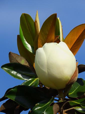 Magnolia Grandiflora Blossom (11)