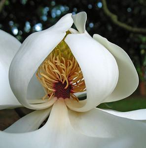Magnolia Grandiflora Blossom (1)