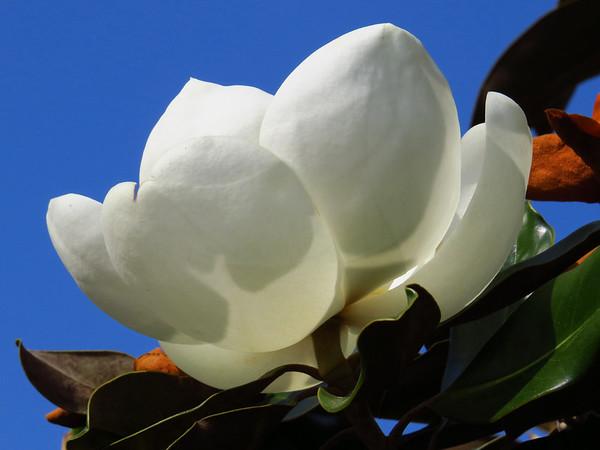 Magnolia Grandiflora Blossom (12)