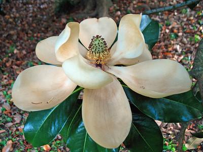 Magnolia Grandiflora Blossom (3)