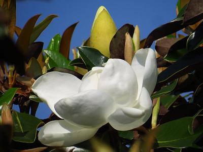 Magnolia Grandiflora Blossom (14)