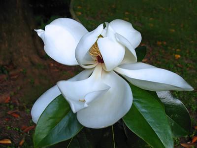 Magnolia Grandiflora Blossom (2)