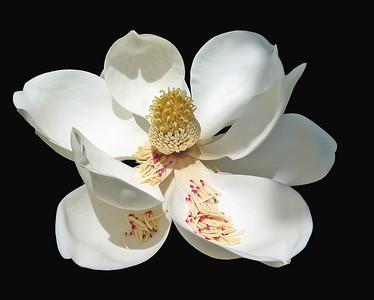 Magnolia Grandiflora Blossom (9)