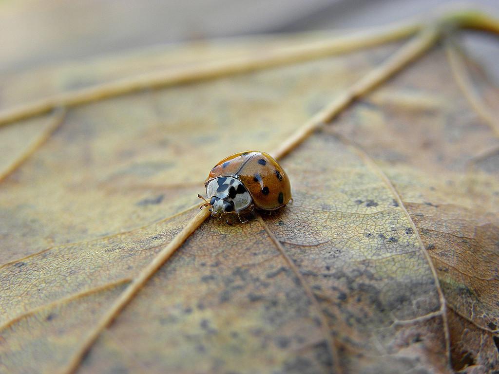100 - Ladybug