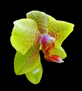 Orchid (51)