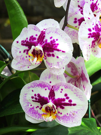 Orchid (45)