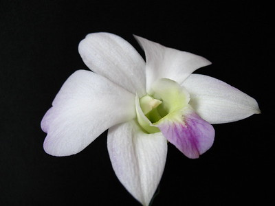 Orchid (15)